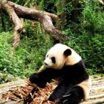 panda_changdu