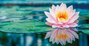 pink_lotos