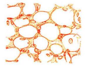 Структура жировой ткани