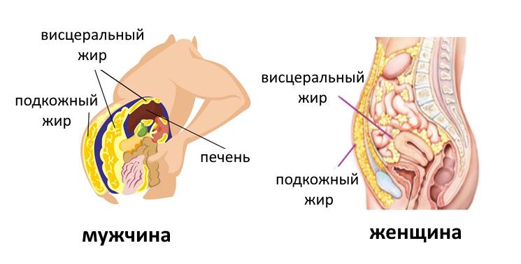 Расположение брюшных жировых отложений у мужчин и женщин